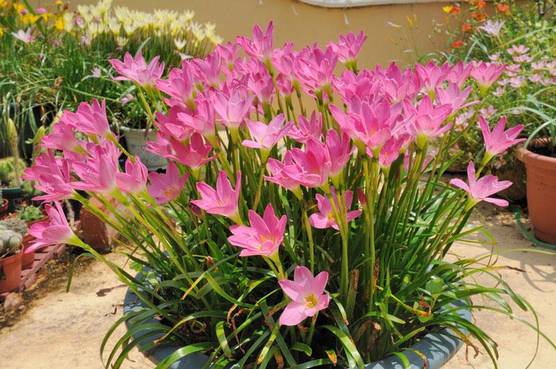 Loài hoa này còn mang sự tích hết sức cảm động về tình yêu đôi lứa.