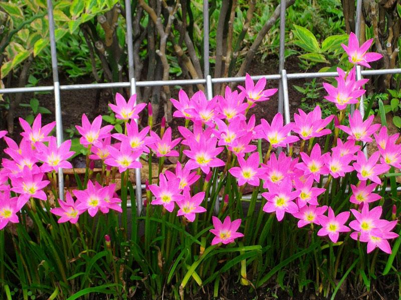 Các bông hoa đơn lẻ hình phễu hướng thẳng đứng hoặc hơi nghiêng với cán hoa dài 10 - 15cm. Mo hoa dài khoảng 2 - 2,8cm và chỉ phân chia không đáng kể ở đỉnh. Các bông hoa có sáu cánh với đường kính khoảng 2,5cm và chiều dài 3 - 3,5cm.