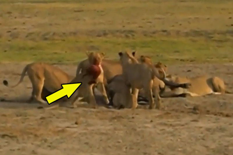 Sư tử lôi xác trâu rừng con ra khỏi bụng mẹ.