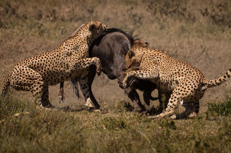 Báo săn cùng nhau hạ sát linh dương đầu bò.
