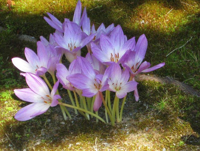 Loài hoa này chỉ nở vào mùa Thu.