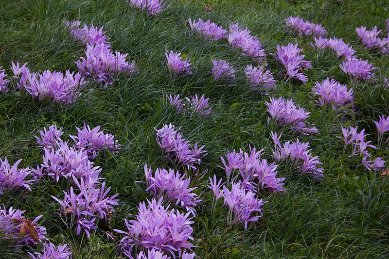 Hoa bả chó nở giữa cánh đồng cỏ.