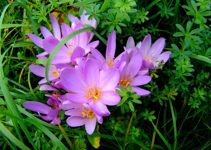 Loài hoa này có nguồn gốc ở Anh và Ireland.