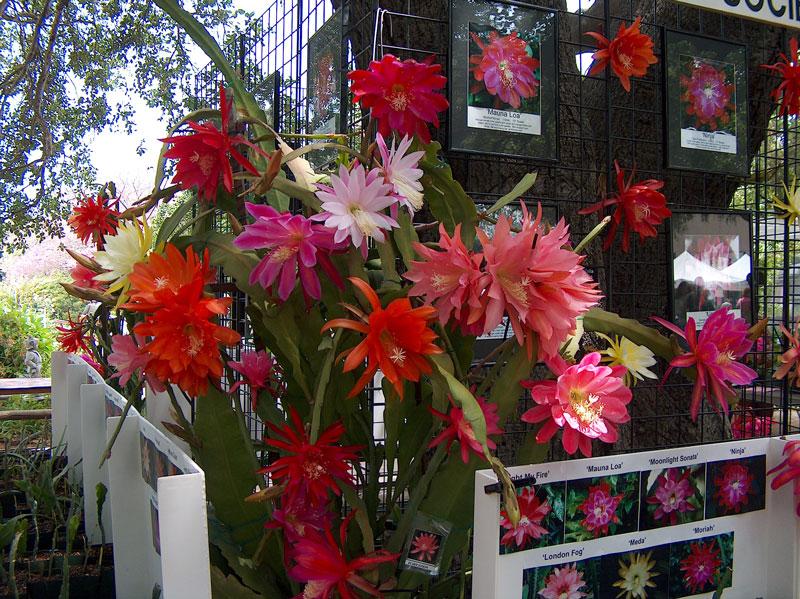 Ở Việt Nam, hoa quỳnh tượng trưng cho những gì đẹp đẽ nhưng ngắn ngủi; sự khiêm nhường, thủy chung, sang trọng pha chút huyền bí; vẻ đẹp e ấp, dịu dàng, thanh khiết của người thiếu nữ.
