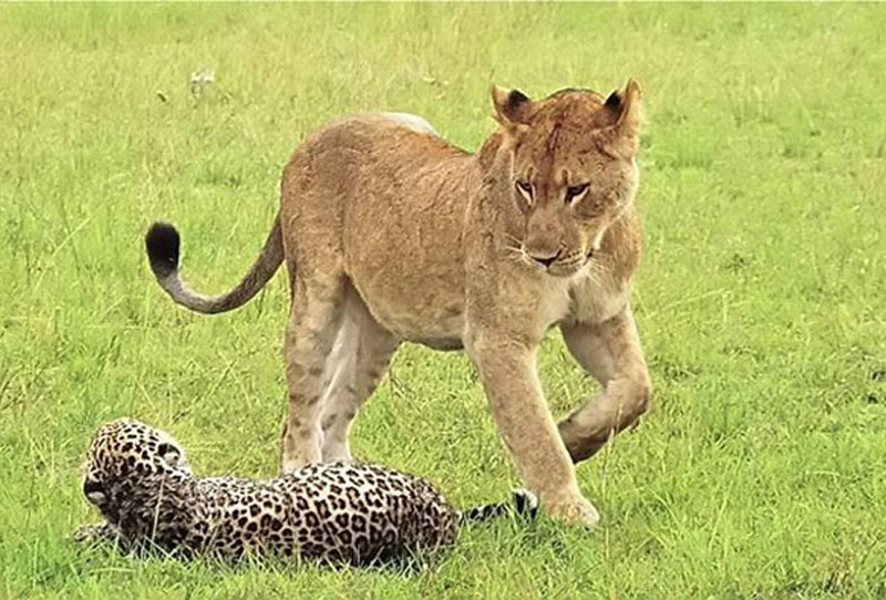 Dính vết thương quá nặng, con báo đã nhanh chóng bị kiệt sức. Không những vậy, nó còn bị những con sư tử cái còn lại lao lên tấn công.