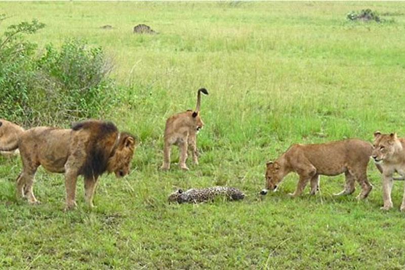 """Bởi vì, đây chỉ là cuộc """"tàn sát"""" nhằm cạnh tranh nguồn thức ăn chứ không phải là bầy sư tử muốn ăn thịt chú báo."""
