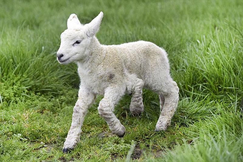 Cừu 5 chân.