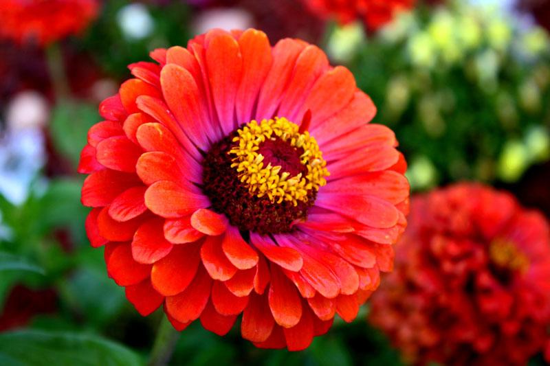 Cúc ngũ sắc màu đỏ tươi phản ánh một tình cảm lâu dài, trong khi màu trắng có nghĩa là tốt lành.