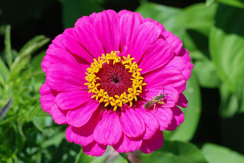 Đây là loài thực vật có hoa đơn niên thuộc họ Cúc (Asteraceae).