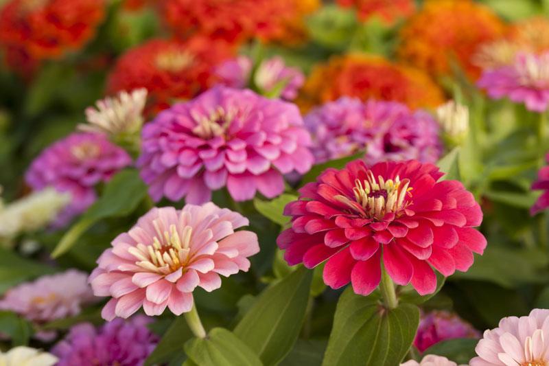 Các hoa đơn có đường kính 5 - 10cm, nhiều màu. Hoa bìa có vành hình môi to, lâu tàn.