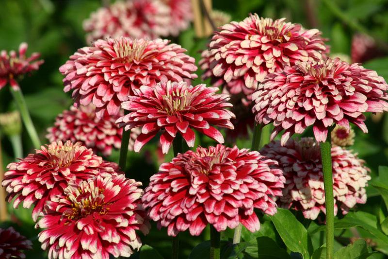 Hoa cúc ngũ sắc có màu sắc khá đa dạng từ đỏ, hồng, cam, vàng…