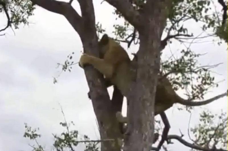 Sư tử trèo cây để tránh bị linh cẩu truy sát.