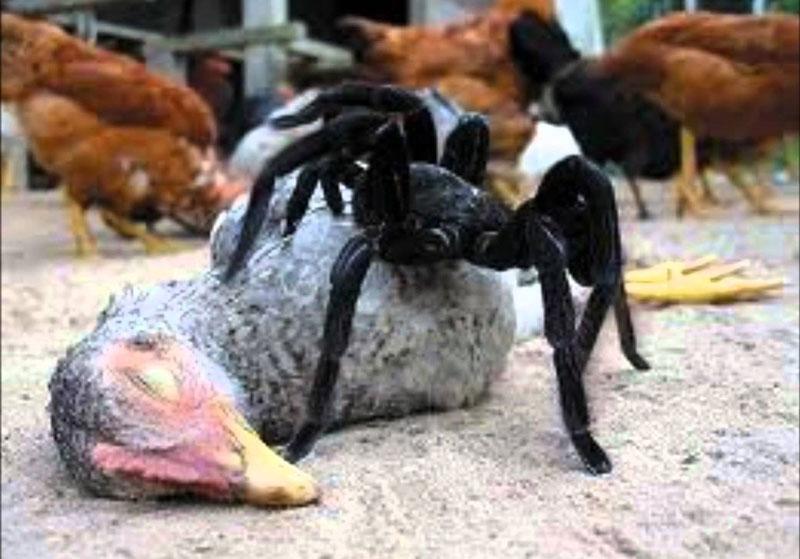 Nhện không thể ăn được các thức ăn dạng rắn. Do sở hữu một bộ máy tiêu hóa khá đặc biệt nên loài nhện không thể ăn được các thức ăn dạng rắn. Thay vào đó, chúng tiêm nước bọt và khiến các mô mềm của con mồi bị tan chảy ra rồi hút lấy chất dinh dưỡng.