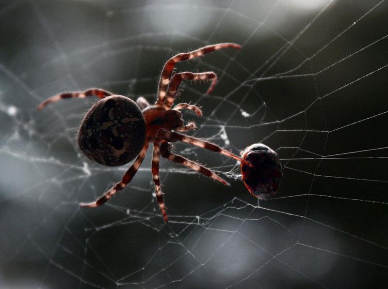 Máu của nhện có màu xanh khi tiếp xúc với oxy. Máu của nhện có chứa nhiều hemocyanin mang nguồn gốc từ đồng nên nó sẽ chuyển sang màu xanh đậm khi tiếp xúc với oxy trong không khí.