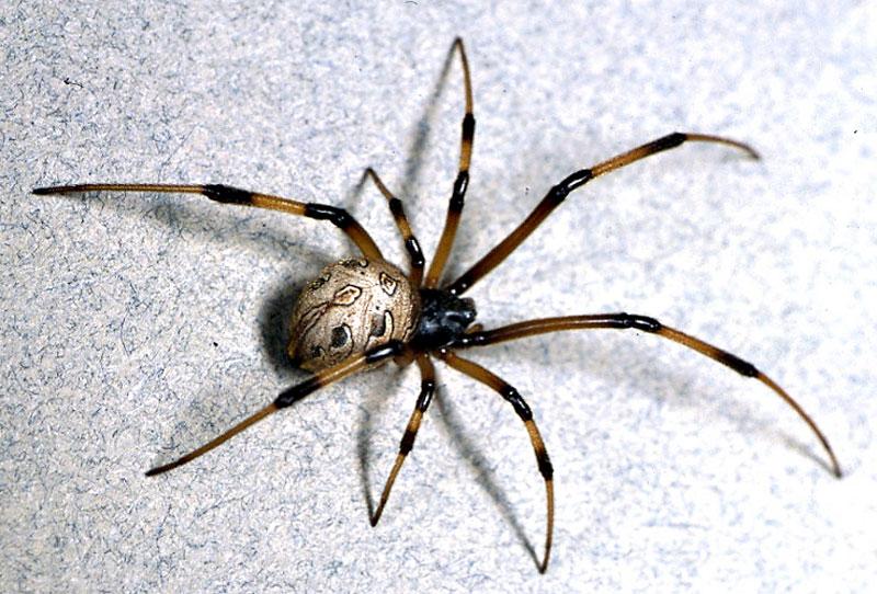 Nhện có thể điều khiển được huyết áp để giúp nó nhảy. Nhện là một trong những loài có cách di chuyển kỳ lạ nhất thế giới khi nó không chỉ sử dụng các gân cơ, mà còn biết cách điều khiển huyết áp để giúp cơ thể di chuyển. Cụ thể, khi muốn nhảy, nhện sẽ làm tăng huyết áp hemolymph ở chân để tăng áp suất ở các khớp xương khiến nó nảy bật và giúp nhện nhảy.