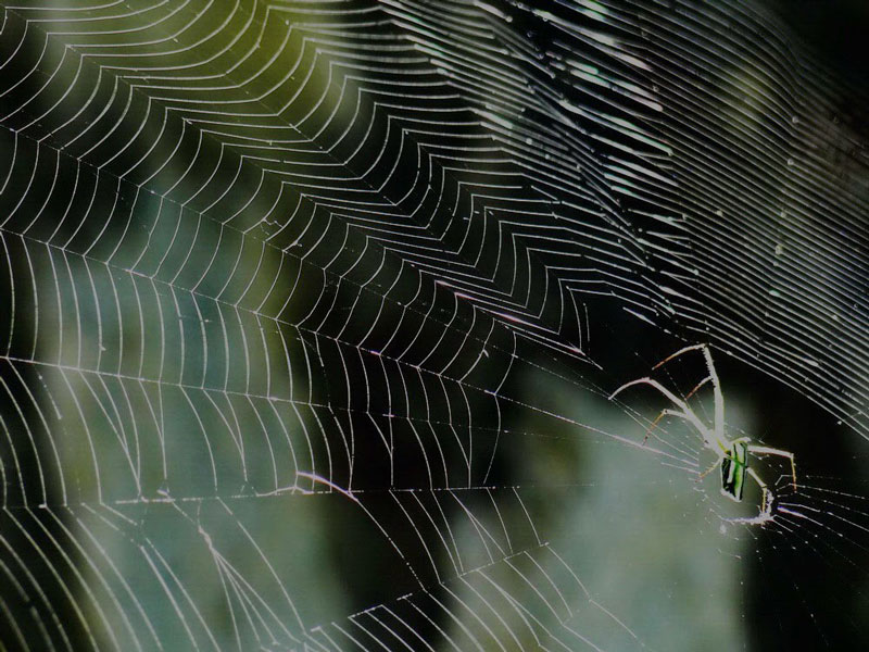 """Nhện tự ăn tơ của mình và tái chế tơ mới. Nếu tơ nhện cũ không quá bẩn, """"chủ nhân"""" sẽ ăn sạch nó và tái chế ra tơ hoàn toàn mới."""