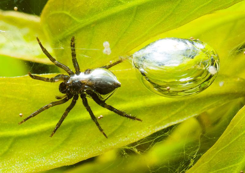 """Nhện có thể sống trong nước. Nhờ vào việc sở hữu bộ lông mềm bao quanh cơ thể nên một vài loài nhện có thể xây tổ """"diving bell"""" giúp chúng sống được dưới nước."""