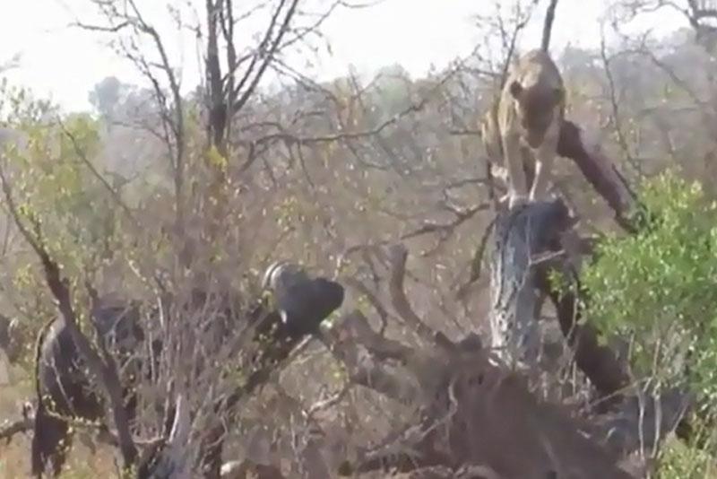 Sư tử trèo lên cây để tránh bị trâu rừng tấn công.