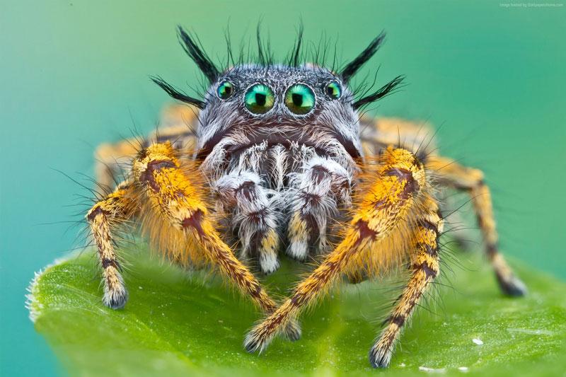 """Nhện cũng ăn chay. Kipling là loài """"cá biệt"""" trong thế giới loài nhện khi thức ăn chủ yếu của chúng là chồi cây keo. Tuy nhiên, đôi khi loài nhện này cũng ăn ấu trùng của loài khác."""