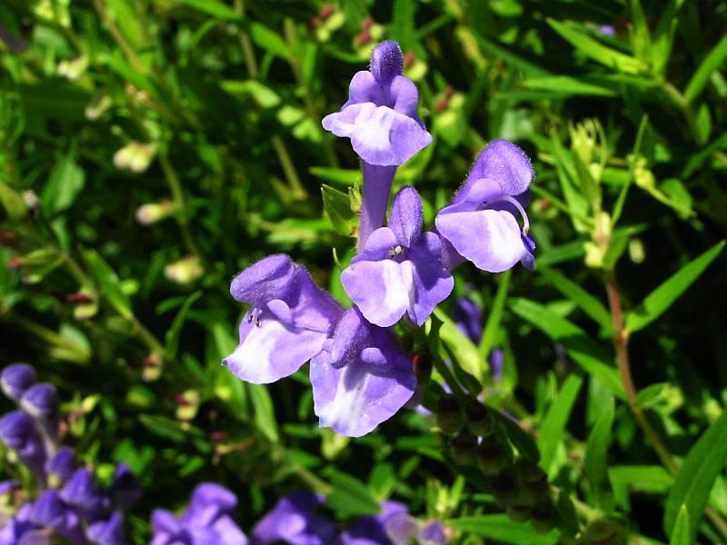 Hoa hoàng cầm thường được trồng để làm dược liệu.