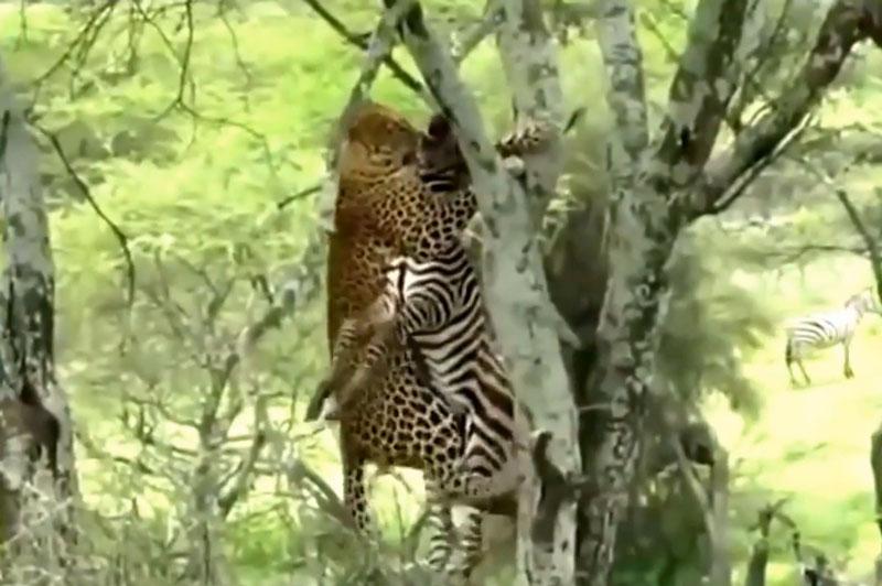 Báo hoa mai tha xác ngựa vằn lên cây.