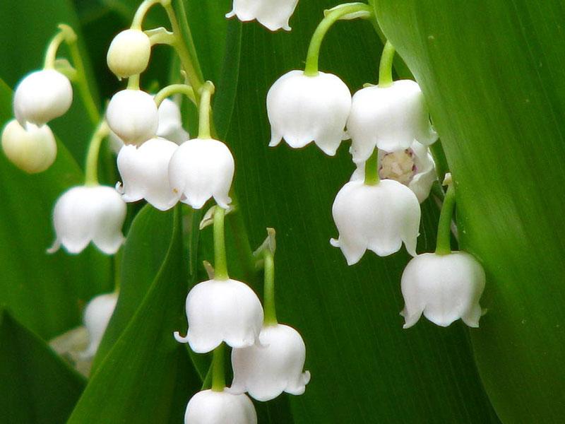 Theo truyền thống, hoa linh lan được bán tại Pháp trên các đường phố vào ngày 1/5 và được tặng cho nhau như một thứ đem lại may mắn.