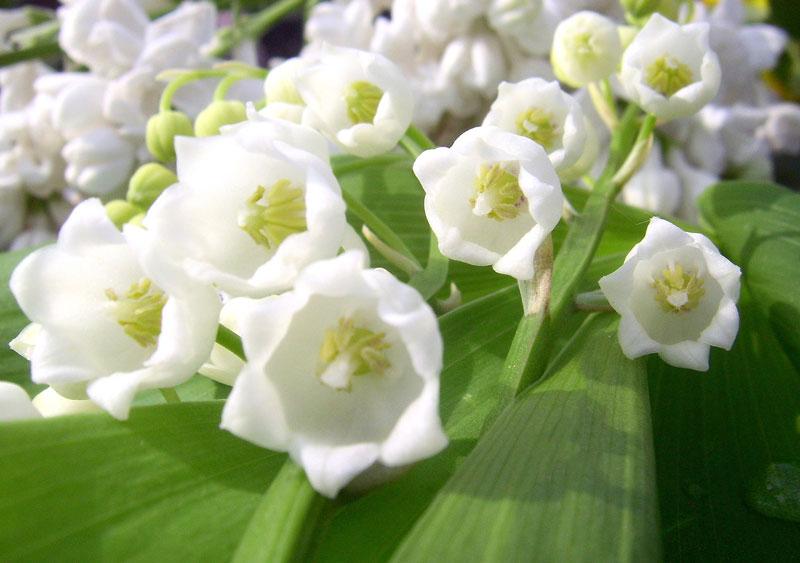 Kể từ năm 1982, hoa linh lan là quốc hoa của Phần Lan.