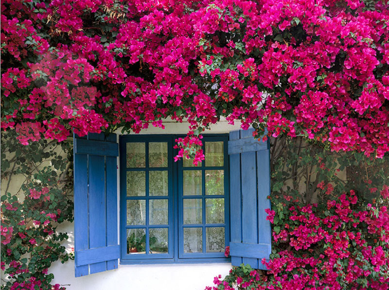 Cây hoa giấy có nhiều màu sắc như trắng, hồng, đỏ, vàng, cam... Ảnh minh họa.