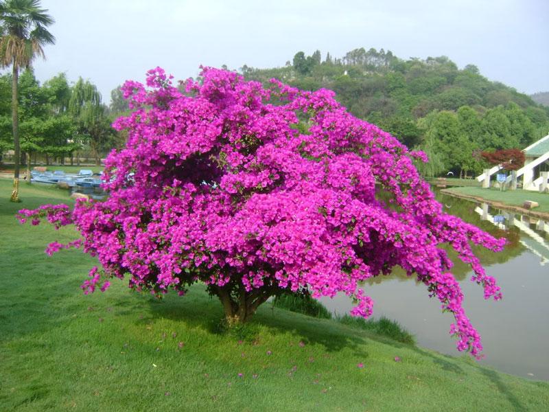 Cây hoa giấy cũng được trồng nhiều ở công viên. Ảnh minh họa.