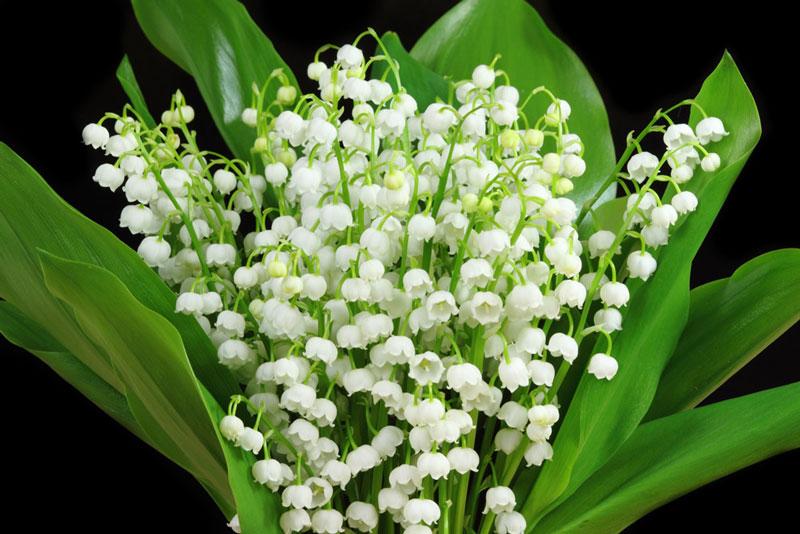 Hoa linh lan là loại cây cảnh trồng phổ biến trong vườn vì các hoa có mùi thơm và vẻ đẹp của nó.