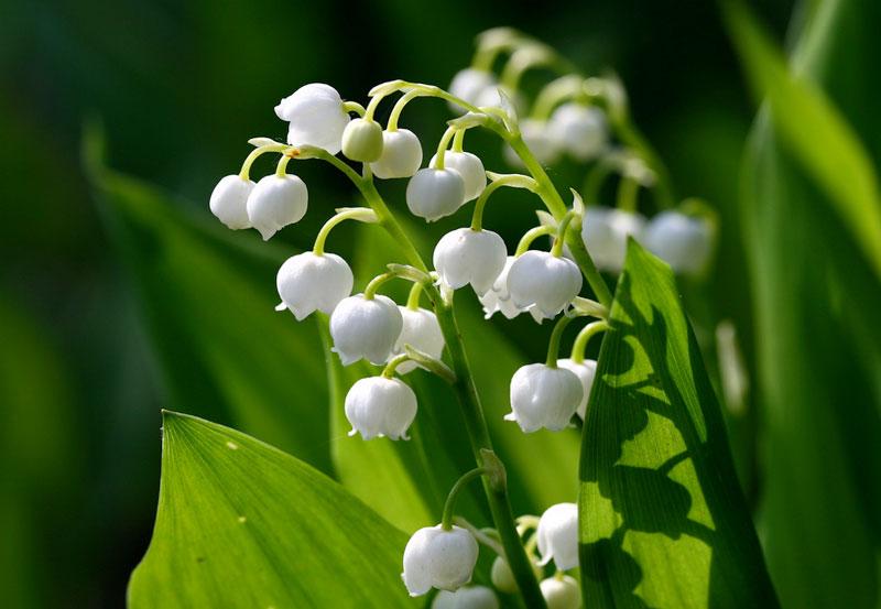 Lá và hoa linh lan chứa các glycozit như Convallimarin, Convallarin có tác dụng tim mạch và được sử dụng trong y học trong nhiều thế kỷ. Với các đơn thuốc quá liều nó có thể gây ngộ độc; các loài vật nuôi và trẻ em có thể bị thương tổn khi ăn phải linh lan.
