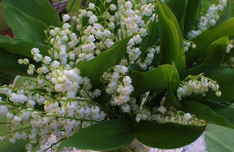 Hoa này trong tiếng Anh còn được gọi là Our Lady's tears (Nước mắt của Mẹ).