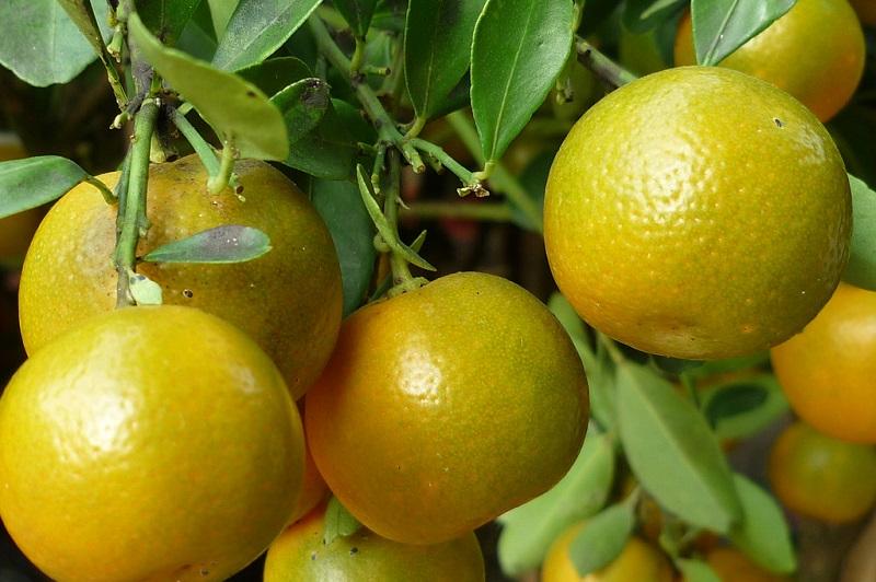 Theo dân gian, trái quất có rất nhiều tác dụng tốt đối với cơ thể.