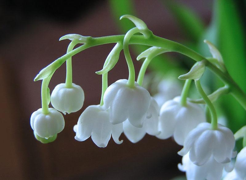 Theo một truyền thuyết khác, hoa linh lan cũng đã xuất hiện từ máu của Thánh Leonard trong trận chiến của ông với con rồng. Các tên gọi khác trong tiếng Anh là May Lily (huệ tháng Năm), May Bells (hoa chuông tháng Năm), Lily Constancy (huệ chung thủy), Ladder-to-Heaven (thang tới thiên đường), Male Lily and Muguet…
