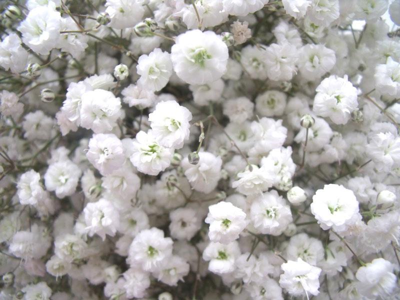 Hoa baby thường được sử dụng phổ biến trong các đám cưới, nó được cho là đại diện cho tình yêu tinh khiết, vĩnh cửu.