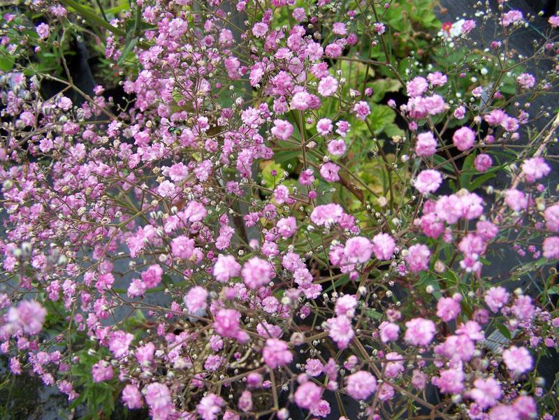 Những bông hoa đôi khi được dùng làm quà tặng cho các bà mẹ mới hoặc chờ đợi, vì họ thường bày tỏ niềm vui và sự ngây thơ của một em bé mới, đặc biệt là khi chúng được đặt cùng với các loại hoa khác tượng trưng cho mẹ.