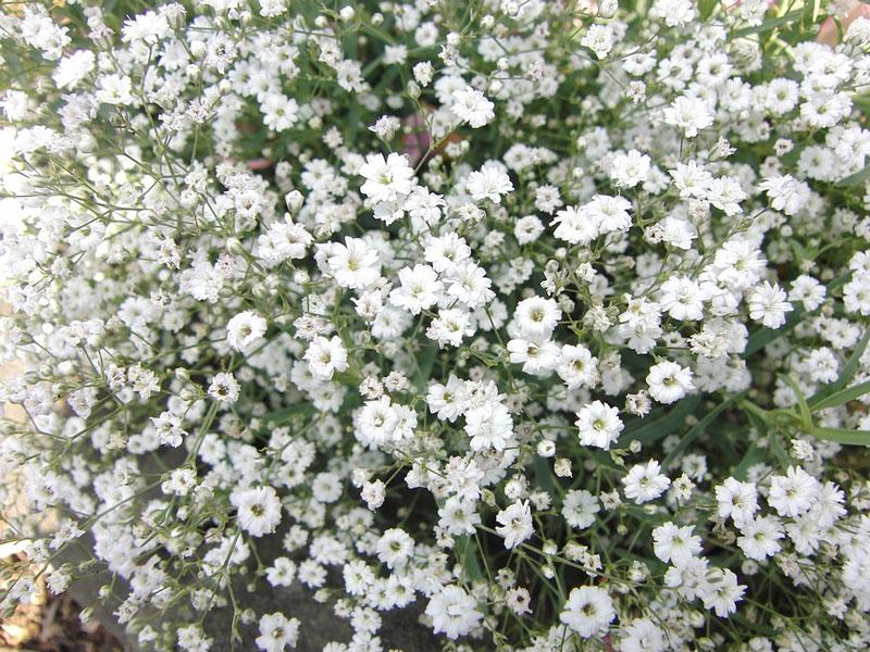 Nó là chi thực vật có hoa trong gia đình cẩm chướng.