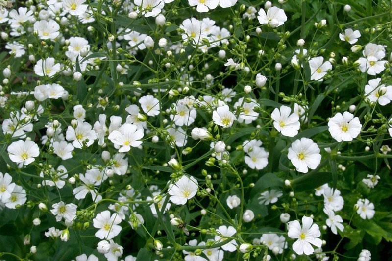 Hoa baby thường gặp nhất là màu trắng và hồng nhạt. Ngoài ra, có còn có màu hồng hồng đậm nhưng rất hiếm gặp.