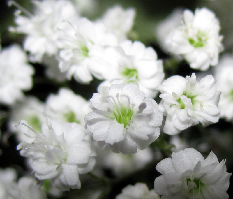 Hoa baby có tên khoa học là Gypsophila.