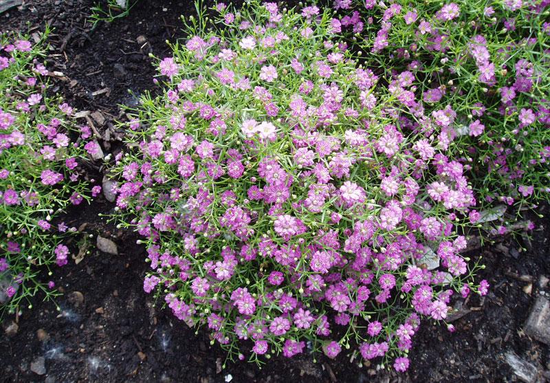 Chính vì vẻ đẹp trong sáng đó những bông hoa baby được gắn kem theo những bó hoa để gửi thông điệp đến người nhận.