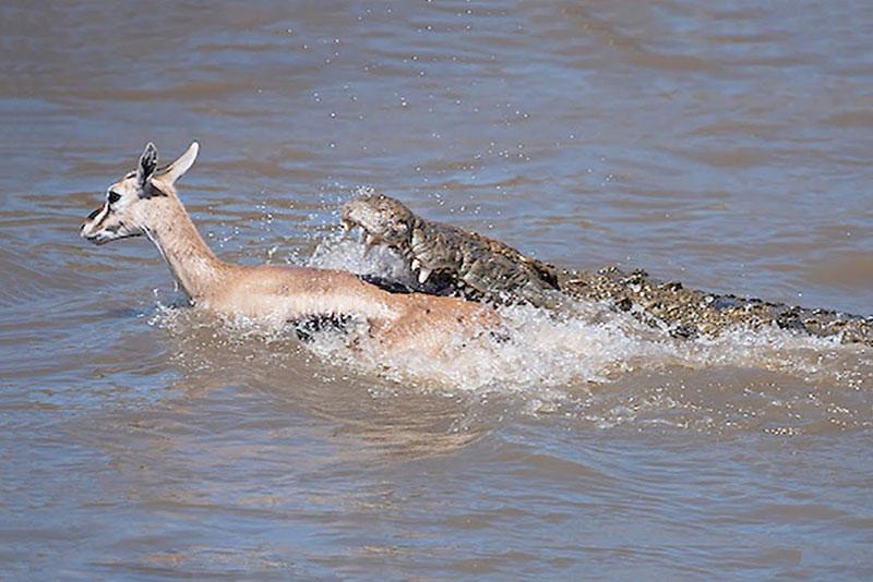 Cá sấu dễ dàng tóm gọn linh dương Impala.
