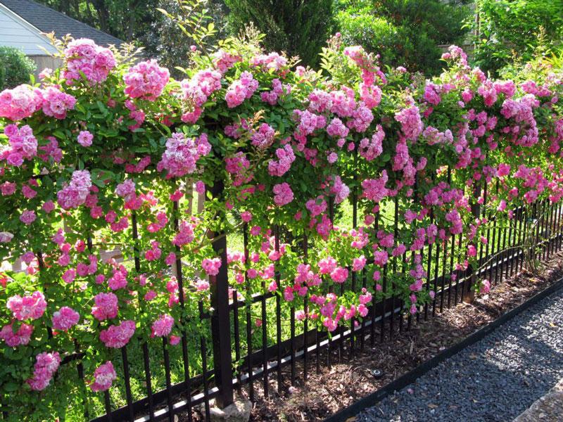 Hoa hồng leo trồng ở hàng rào. Ảnh minh họa.