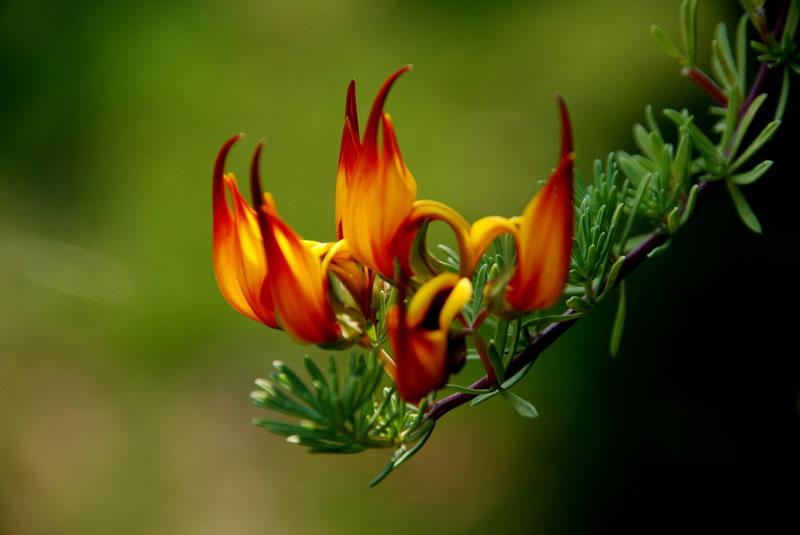 Loài hoa này phân bố chủ yếu ở quần đảo Canary (Tây Ban Nha).