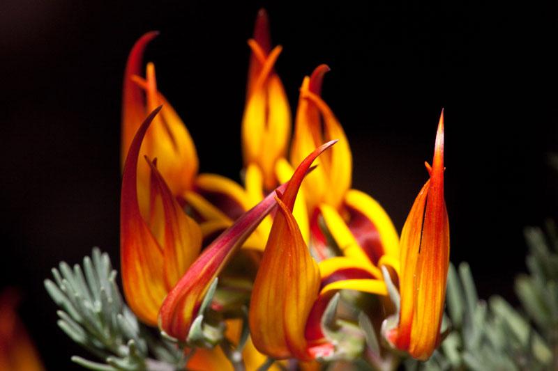 Từ năm 1884, hoa mỏ vẹt đã được xếp vào loài hoa cực kỳ hiếm.
