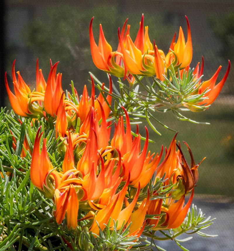 Hoa có màu đỏ, từ đỏ đến cam, có hình dạng giống mỏ vẹt, dài 2 - 4cm, rộng 5 - 8mm.