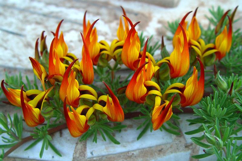 Đây là loài thực vật có hoa trong họ Đậu.