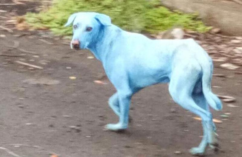 Chó có lông màu xanh kỳ lạ ở ngoại ô thành phố Navi Mumbai .