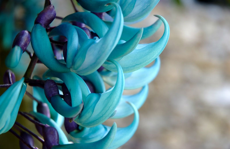 """Hoa móng cọp xanh còn được gọi là """"dây hoa cẩm thạch"""" vì hoa có khi có màu xanh lục."""
