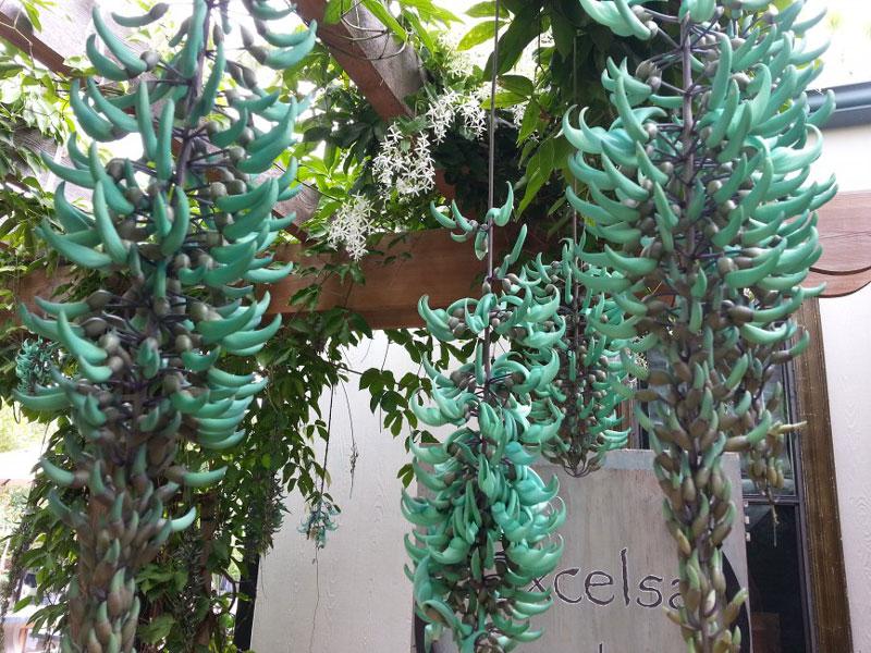 Cây có thân mộc to, sống nhiều năm, thường được trồng theo dạng dây leo lên giàn.