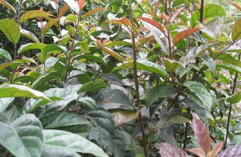 Phần làm dược liệu của xạ đen chủ yếu là thân, cành, lá.